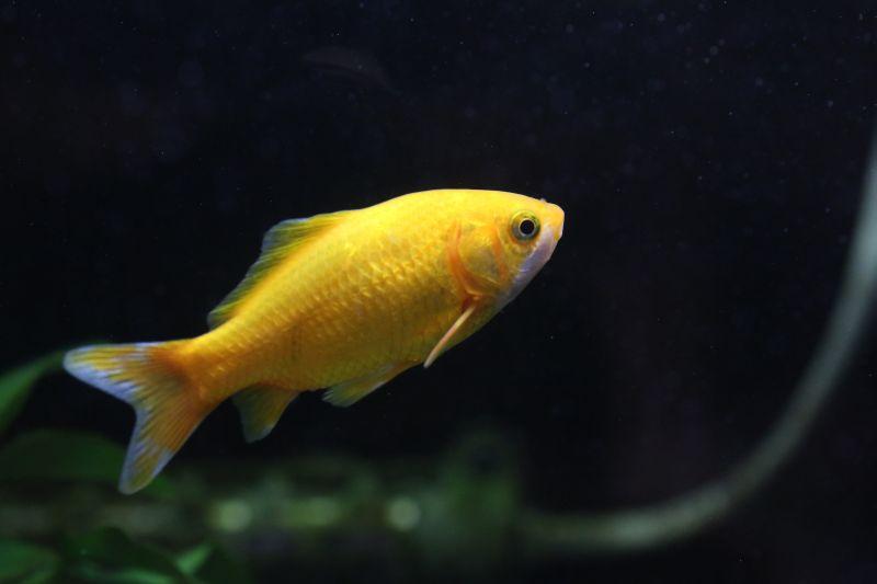 【ソラマチ店】金魚フェア開催中です。