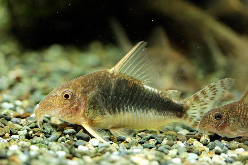 【新宿店】写真付き♪本日のオススメ魚はコリドラス!