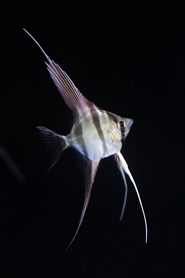 【新宿店】お魚紹介『王者の貫禄!』