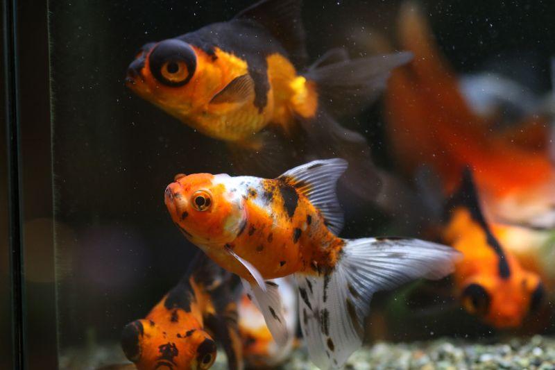 【ソラマチ店】金魚が入荷致しました。