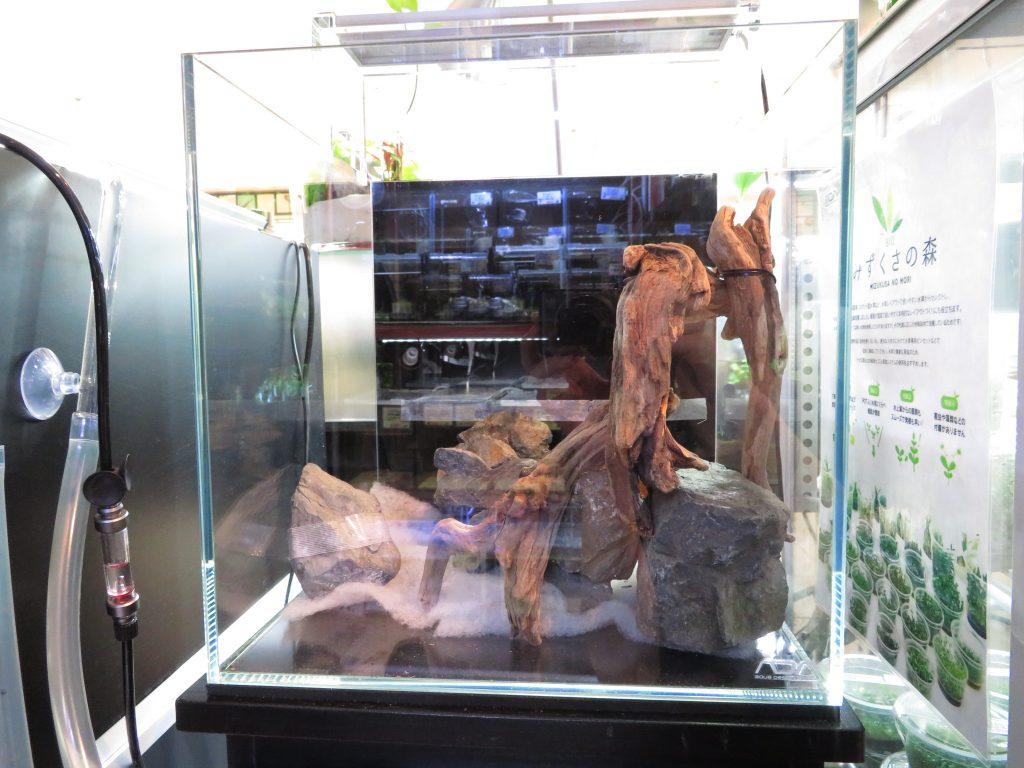 【新宿店】30センチキューブ店頭展示「流木の中の小道」水槽を作成しました!