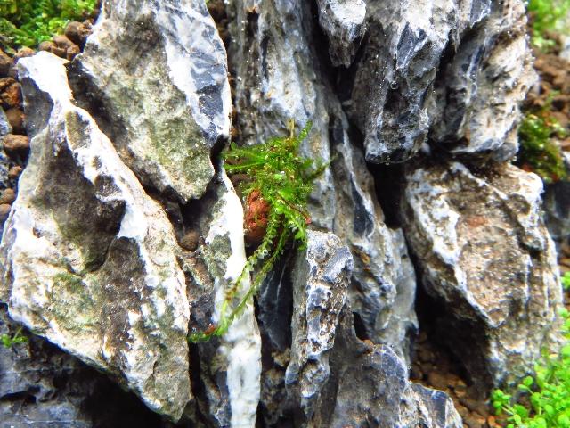ウィーピングモス溶岩石小