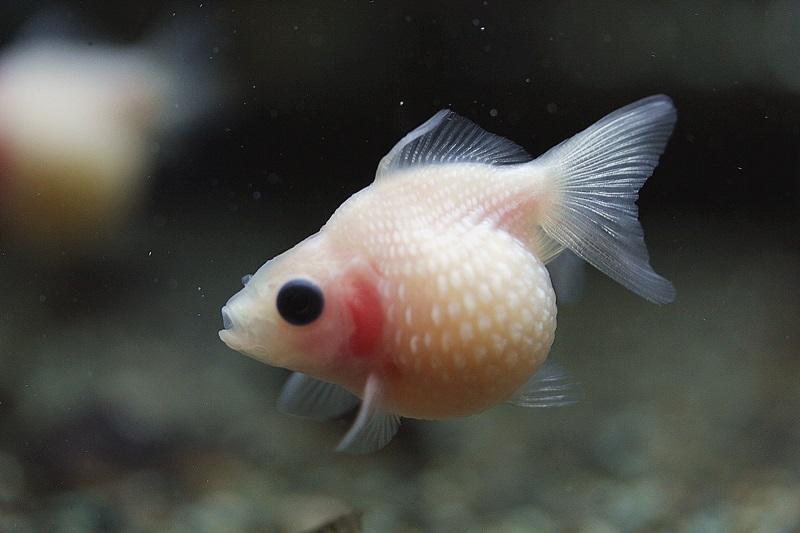 【新宿店】6月7日現在 生体在庫ご紹介 金魚・その他