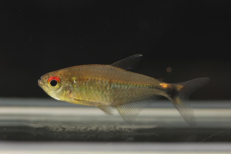 【新宿店】写真付きお魚紹介♪~世界最小のカラシンなど~