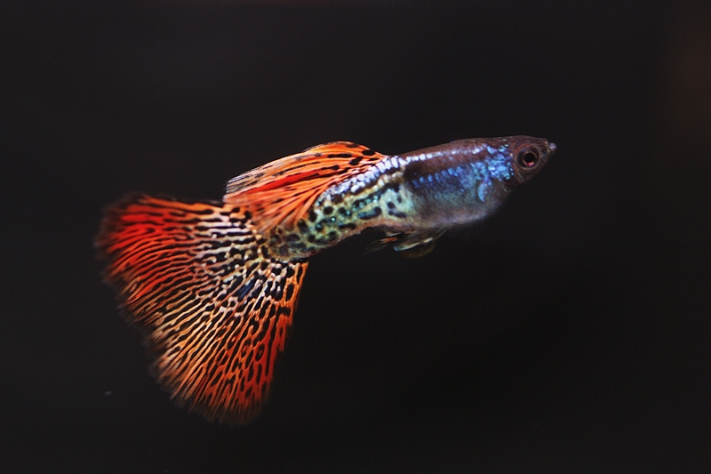 【新宿店】写真付きお魚紹介♪~紛らわしいコリドラス編~