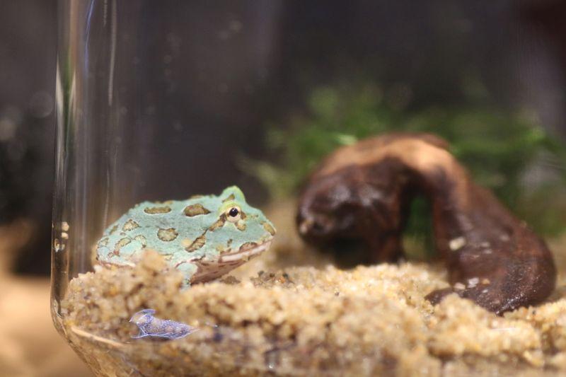 【ソラマチ店】人気のカエルが入荷しました!!&アクアリウム応援フェア!!!