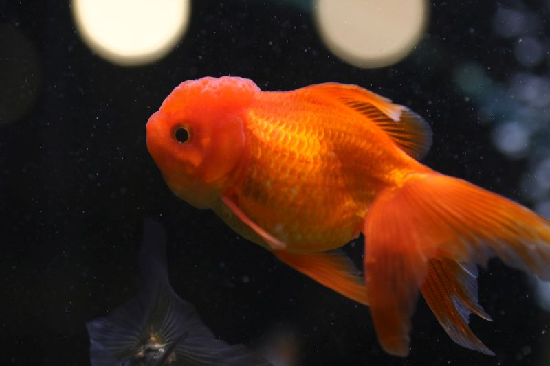 【ソラマチ店】金魚のご紹介。