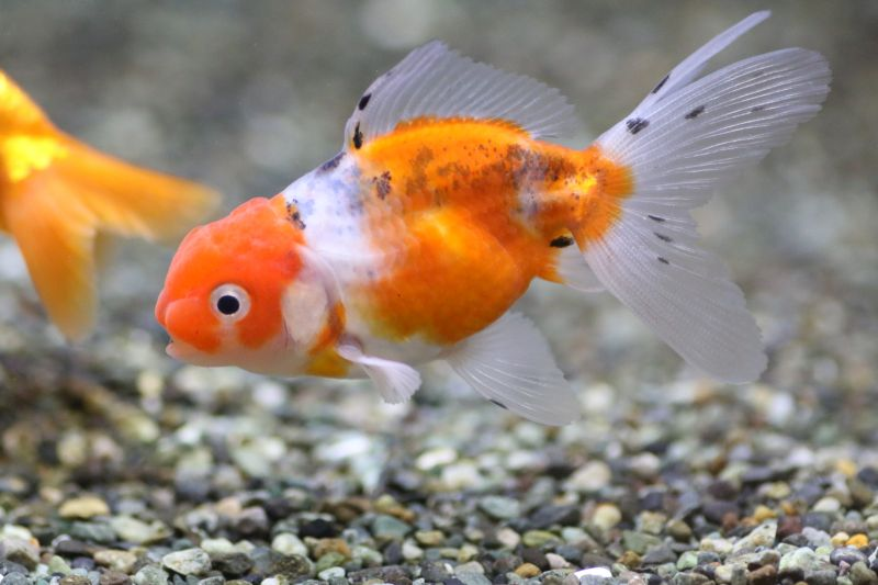 【ソラマチ店】金魚が入荷しました。