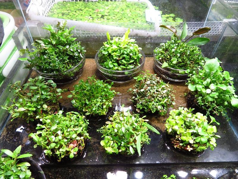 【新宿店】アクアテラリウムにオススメの植物その2