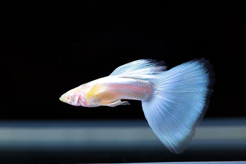 【新宿店】写真付きお魚紹介です♪~綺麗なグッピー編~