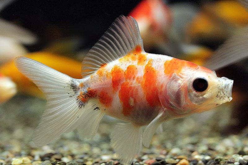 【新宿店】写真付きお魚紹介です♪~金魚編~