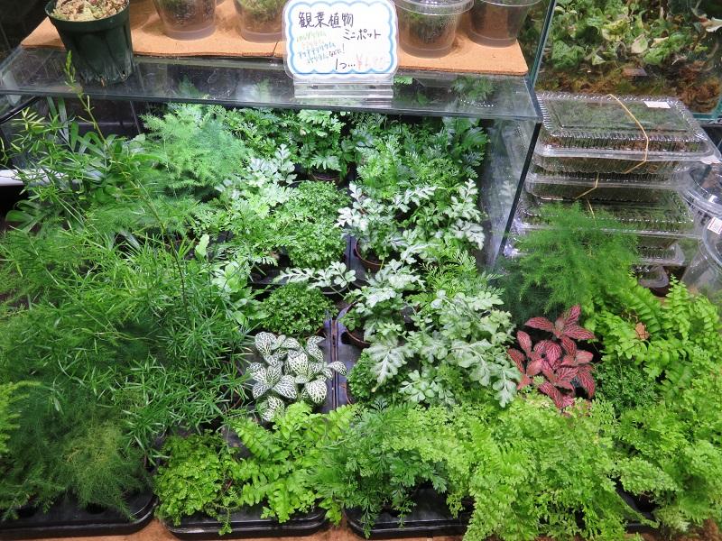 【新宿店】激アツ!!人気のテラリウム向け陸上植物が入荷しました!!(ミニポットタイプ)