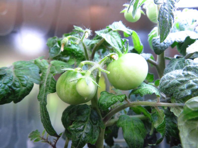 【新宿店】ポットランドのトマトが結実!