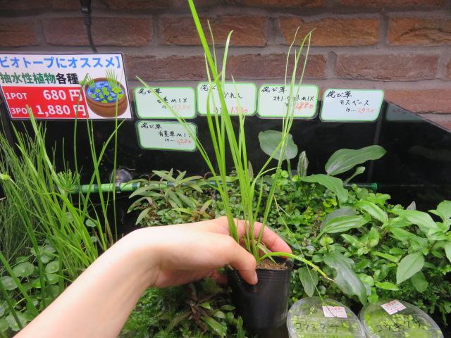 【ソラマチ店】おすすめ水草