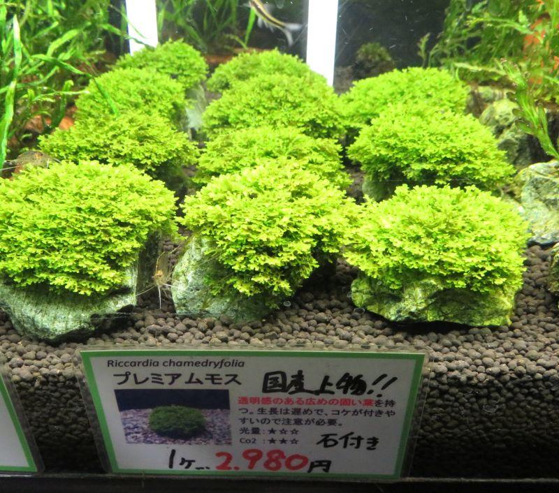 【新宿店】オススメ水草!