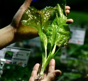日本産水草「ミズオオバコ」