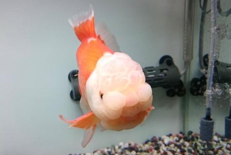金魚水槽設置&金魚の配達